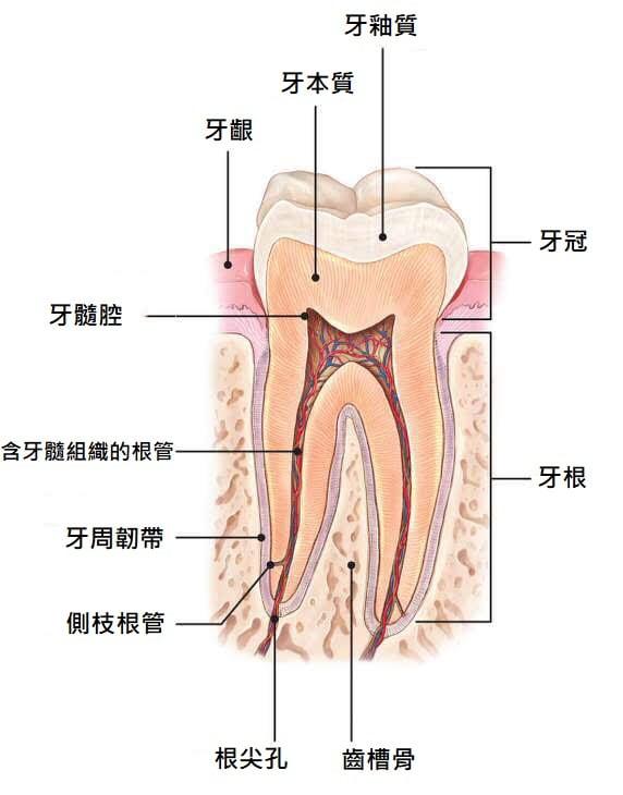 抽神經-根管治療-牙齒變黑美白推薦全瓷冠-牙齒組織圖